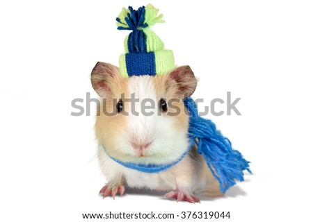 Guinea pig dressed in a winter hat and scarf