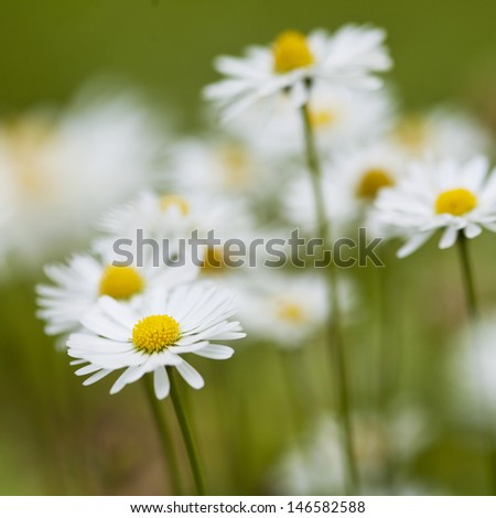 ��¡hamomile flowers in meadow. Shallow depth of field. - stock photo