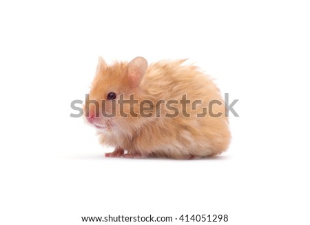hamster isolated on a white  - stock photo