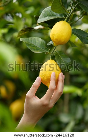 hand picking a lemon