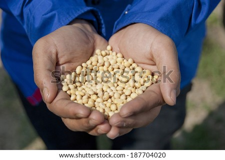 Handful of soybeans, India. - stock photo