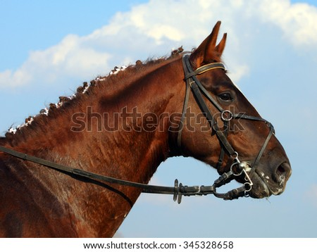 Hanoverian horse just before evening in corral   - stock photo