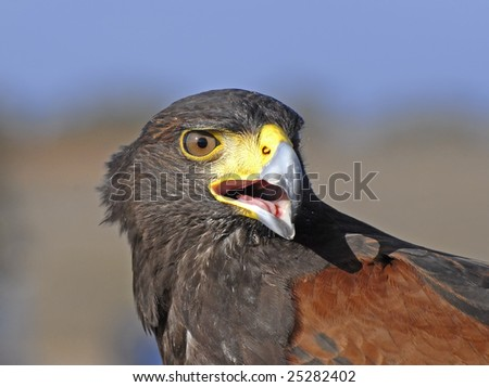 """""""Harris"""", One of the birds most used in falconry - stock photo"""