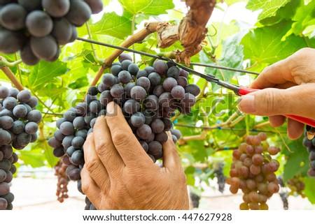 Harvesting ripe grapes in vineyards - stock photo