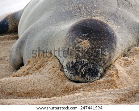 hawaiian monk seal at dusk  on poipu beach, kauai, hawaii       - stock photo