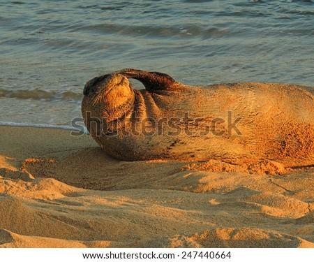 hawaiian monk seal  on poipu beach, kauai, hawaii, at dusk         - stock photo