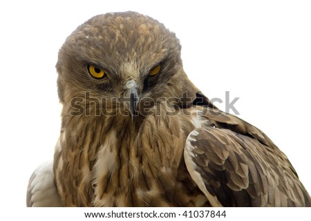hawk head close-up isolated on white - stock photo