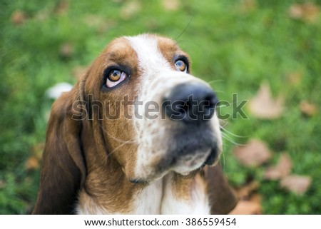 """Head of Basset hound expression patience"""