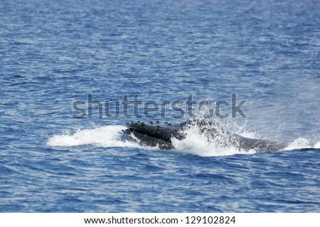 Head of Humpback whale. Humpback whale inhale air in the sea of Hawaii - stock photo