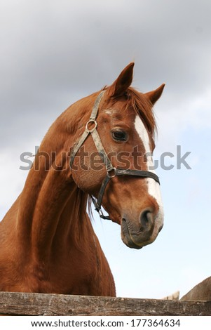 Head shot of a beautiful bay horse in the pinfold - stock photo