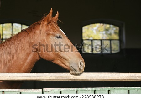 Head shot of a thoroughbred horse looking over stable door - stock photo