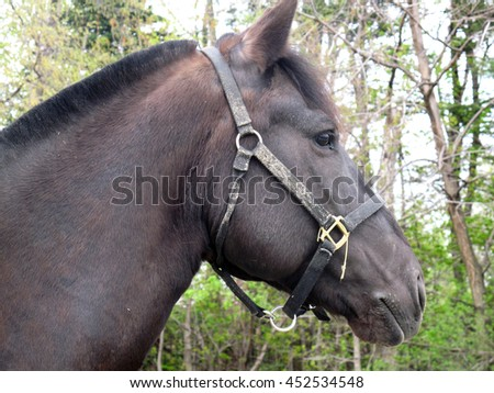 Head shot or portrait of a Canadian horse