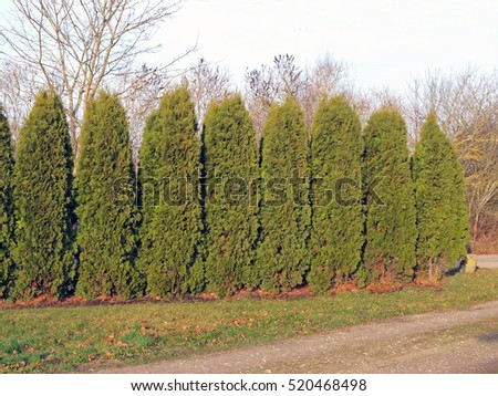 Hedge from evergreen high cylindrical thuja or cypress trees.