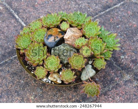 """Hen and chicks"" succulents growing in a little container - stock photo"