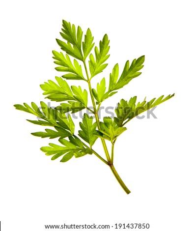 Herbal medicine: Chervil (Anthriscus cerefolium, garden chervil) uses in folk medicine.  - stock photo