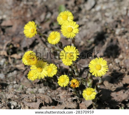 herbs coltsfoot