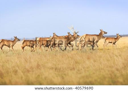 Herd of a whitetail deer on a meadow. Ascania-Nova. Ukraine - stock photo