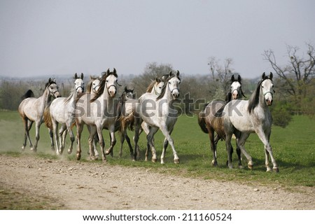 Herd of arabian horses running in the field - stock photo