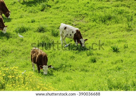herd of brown and white cows on green grass