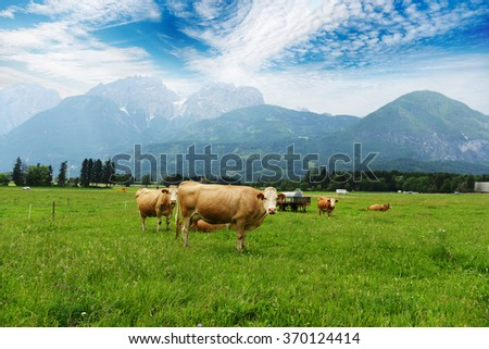 herd of cows grazing on mountain slopes  - stock photo