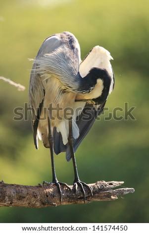 heron bird african wildlife migratory birds of the savannah kruger national park south africa - stock photo