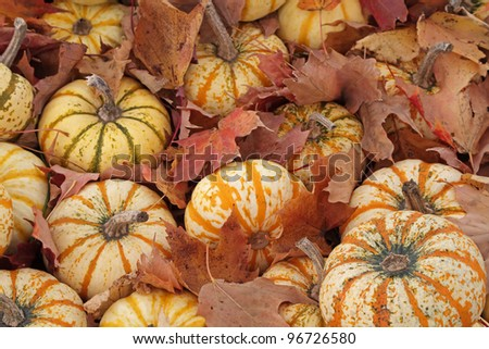 """Hide and Seek"" - Small gourds hide in fallen autumn leaves, Mears, Michigan, USA"