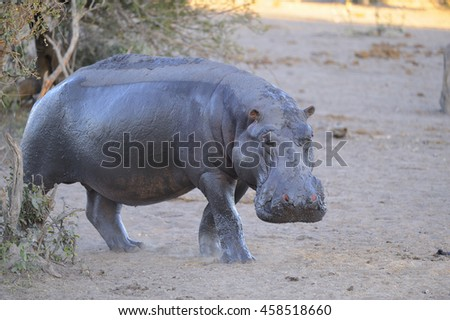 Hippopotamus (Hippopotamus amphibius)  leaving it's daytime territory in a mudhole to forage in the bush. Talamati, South Africa. Hippos are responsible for more human deaths than any other game - stock photo