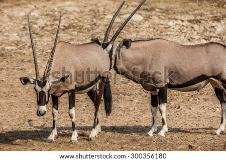 His spiky animals South Africa - stock photo