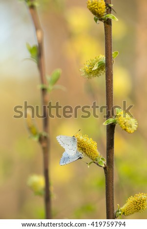 Holly blue, Celastrina argiolus feeding on blooming willow