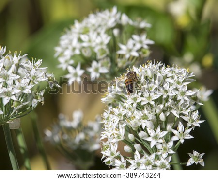 Honey bee on flower heads of white garlic chives Allium tuberosum, ( known as garlic chives, Chinese chives, Oriental garlic, Chinese leek,kow choi)   blooming in autumn  before   black seeds form.