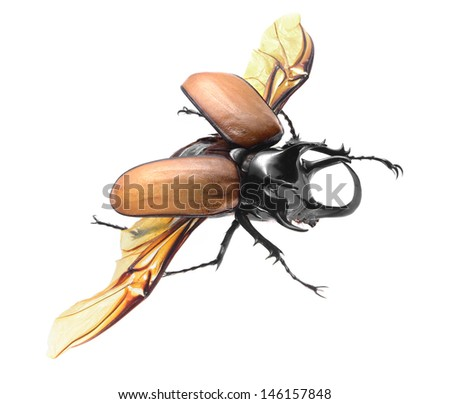 5-Horned Rhinoceros Beetle, Eupatorus gracilicornis beetle isolated on white - stock photo