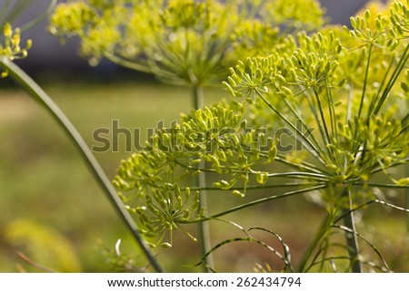 Horticultural inflorescence dill. Fennel seeds. Close-up - stock photo
