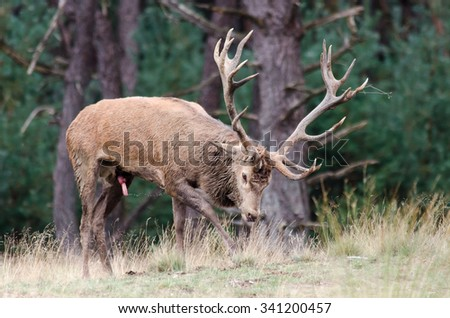 """Hubertus"" 5 year old red stag"