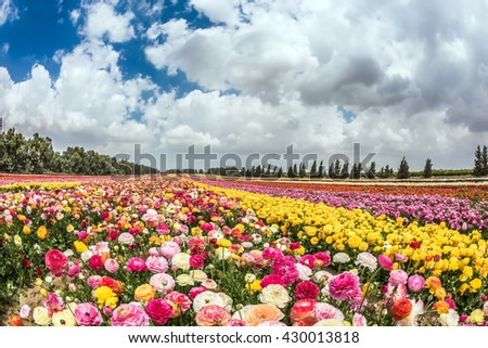 "Huge field of blossoming buttercups. Spring ""carpet"" of flowers. Israeli kibbutz"