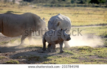 2 huge white rhino cows and calf in this image. - stock photo