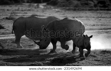 2 huge white rhino / rhinoceros cows and calf in this silhouette image. - stock photo