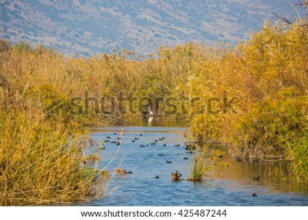 Hula Nature Reserve, Israel, Decembe. Flock of waterfowl winters at Lake Hula - stock photo
