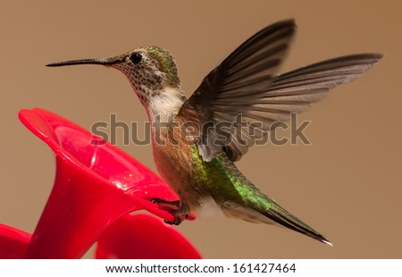 hummingbird, probably a juvenile wings out at is lands on a hummingbird feeder - stock photo