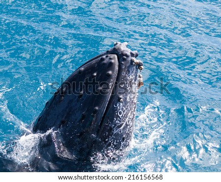 Humpback whale at Hervey Bay queensland aug 2014