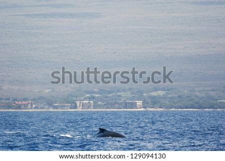 Humpback whale with island coast. Humpback whale are swimming next to coast of Hawaii island. - stock photo