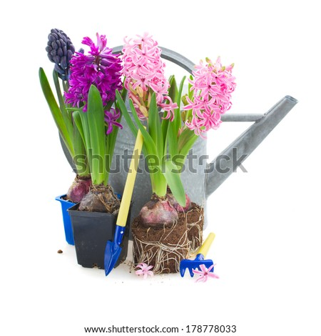 hyacinth flowers with watering can and gardening tools  isolated on white background