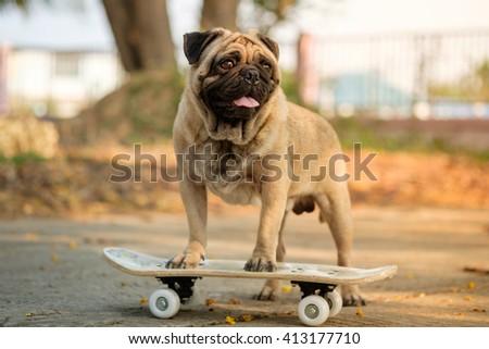 (I Am sk8er pug.) Fawn pug dog playing skateboard on road. - stock photo