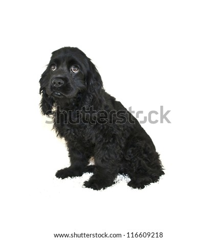 """""""I'm Sorry"""" looking Cocker Spaniel Puppy on a white background. - stock photo"""