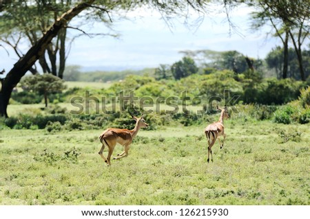 Impala antelopes  running in the  Crescent Island Lake Naivasha in Kenya, Africa - stock photo