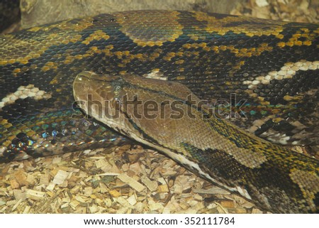Indian Rock Python (Python molurus bivittatus) belongs to the family of giant snakes