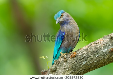 Indian roller(Coracias benghalensis) on the wood in nature of Thailand - stock photo