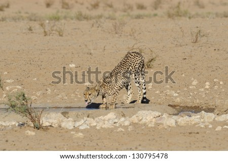 Injured cheetah (Acinonyx jubatus) drinking at waterhole, kalahari desert, Kgalagadi trans-frontier park. The cheetah has an injured leg which prevents successful hunting. - stock photo