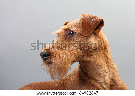 Irish terrier on a gray background. Not isolated.