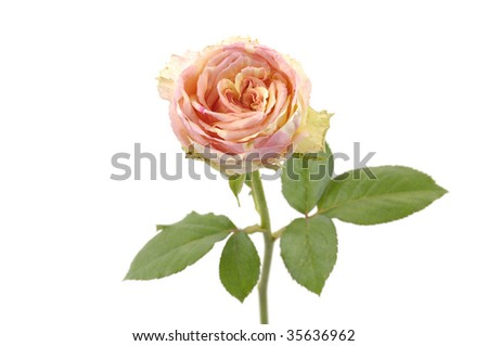Isolated one beautiful bright pink rose