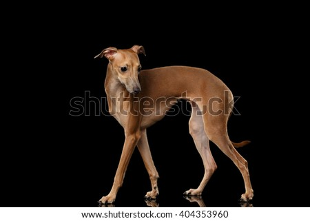 Italian Greyhound Dog Standing on Mirror and Looking at side on Black isolated background, Posing in Profile view - stock photo